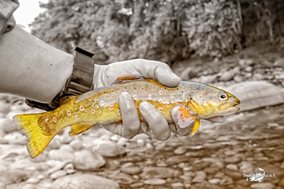 Brown trout river Tormes